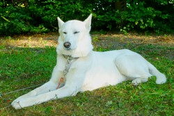 nanook chiot chien