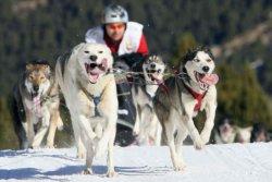 course chiens de traineau